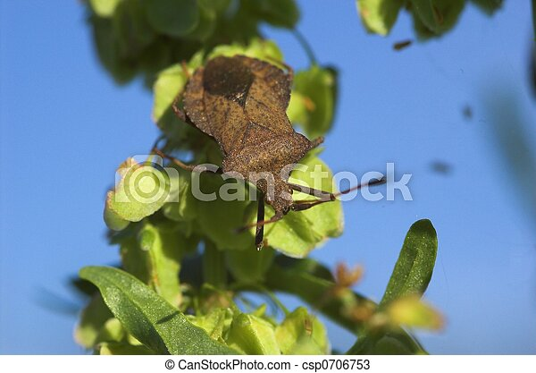 Dock Bug on a Plant - csp0706753