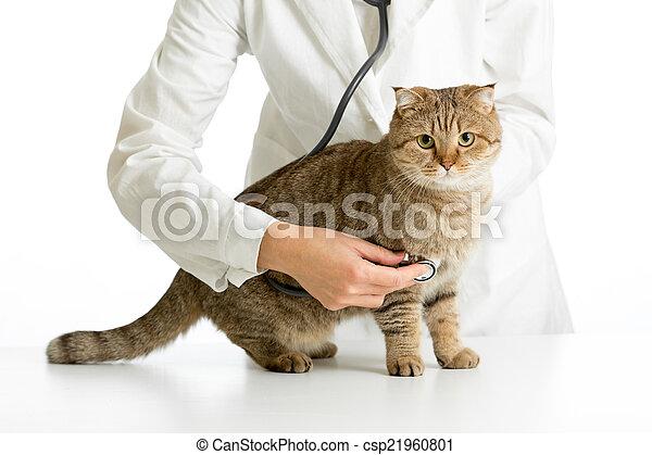docteur, vétérinaire, isolé, chat, stéthoscope, blanc - csp21960801