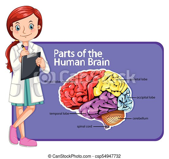Doctor and parts of human brain