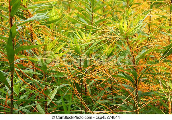 Dodder Illinois Prairie Plant - csp45274844
