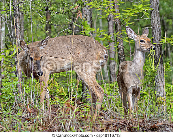 Doe and Fawn Grazing - csp48116713