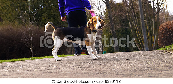 dog Beagle on a leash for a walk with its owner - csp46330112