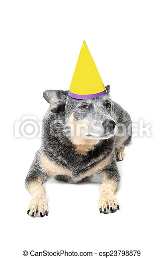 Dog Birthday Blue Heeler With Hat Isolated White