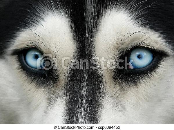 dog blue eyes - csp6094452