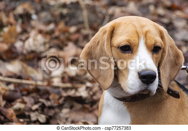 dog breed Beagle in the autumn forest on a Sunny day. - csp77257383
