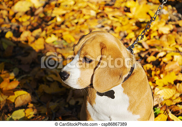 dog breed Beagle in the autumn forest on a Sunny day. - csp86867389
