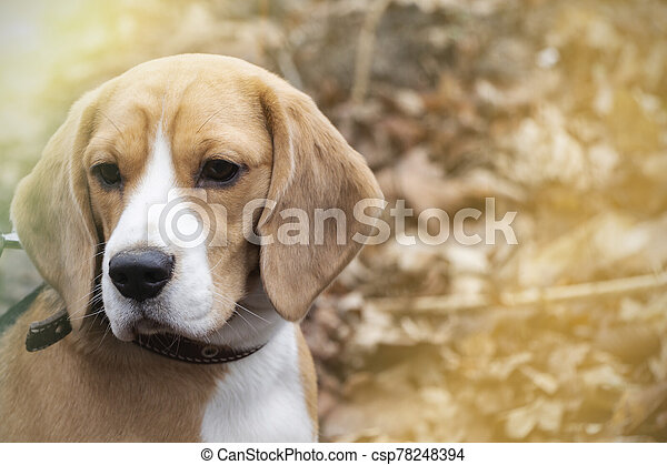 dog breed Beagle in the autumn forest on a Sunny day. - csp78248394