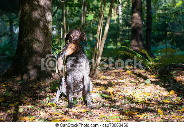 Dog breed Kurzhaar hunting in the forest - csp73060456