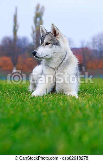 Dog breed Siberian husky - csp62618278