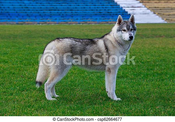 Dog breed Siberian husky - csp62664677