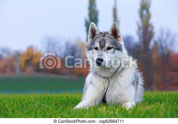 Dog breed Siberian husky - csp62664711