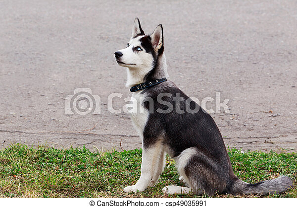 Dog breed Siberian husky - csp49035991