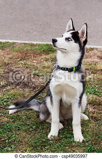 Dog breed Siberian husky - csp49035997