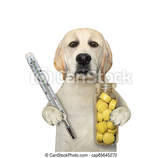 Dog carries thermometer and pills 2 - csp85645270