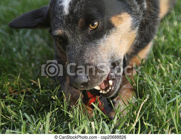 Dog chewing a toy closeup - csp20688826