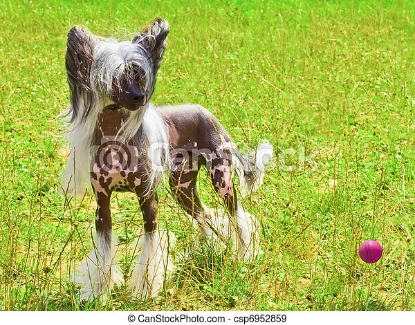 dog Chinese Crested breed with red ball - csp6952859