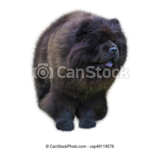 dog chow chow  chow chow dog in front of white background  Black Chow-chow  puppy  Portrait on white background