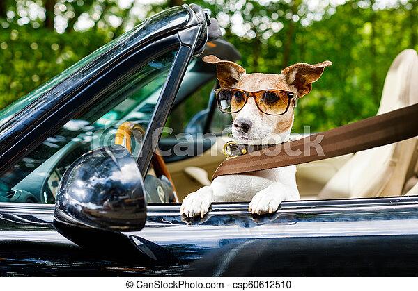 dog drivers license driving a car - csp60612510
