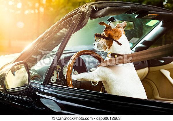 dog drivers license driving a car - csp60612663