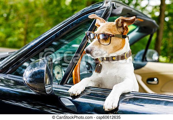 dog drivers license driving a car - csp60612635
