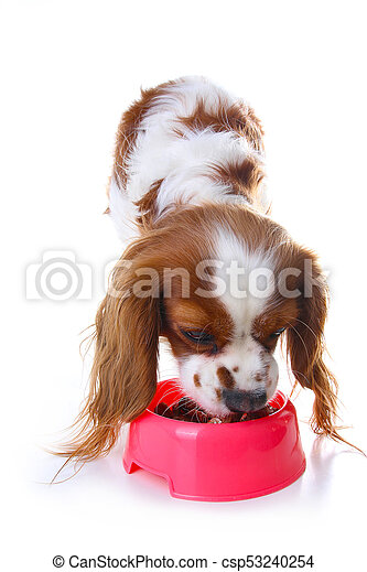 Dog eating animal food with red plastic bowl. Hungry dog photo illustration. Dog food with puppy. Cavalier king charles spaniel on isolated white studio background. Puppy eating in studio. - csp53240254