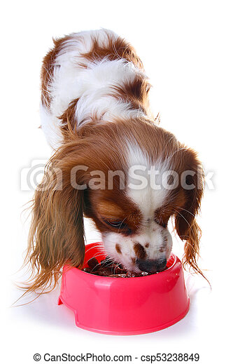 Dog eating animal food with red plastic bowl. Hungry dog photo illustration. Dog food with puppy. Cavalier king charles spaniel on isolated white studio background. - csp53238849