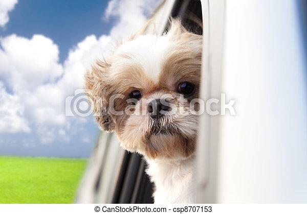 dog enjoying a ride in the car - csp8707153