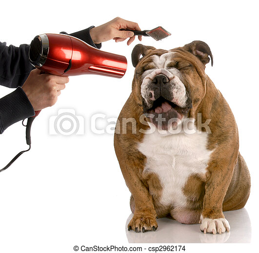 dog getting groomed - english bulldog laughing while being brushed - csp2962174