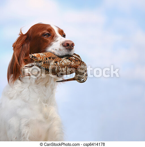 dog holds a woodcock - csp6414178
