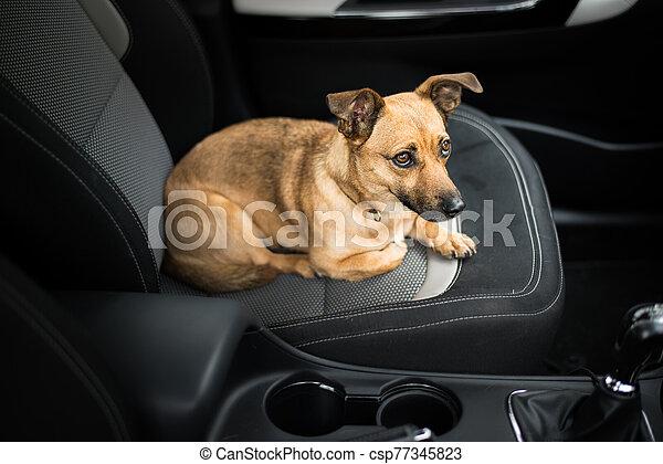 Dog in a car - csp77345823