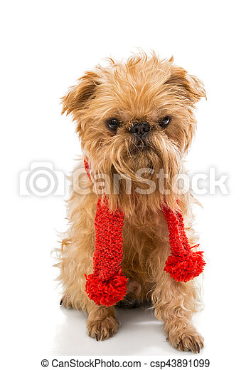 Dog  in a knitted scarf - csp43891099