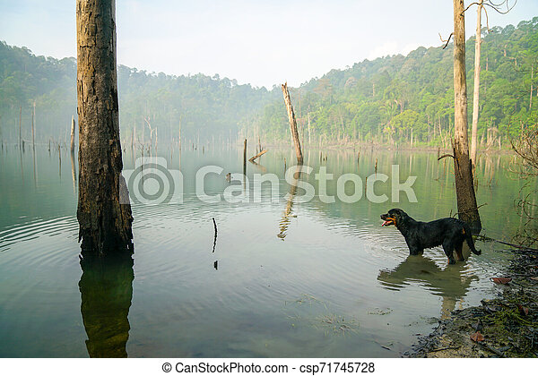 Dog in a misty swamp lake - csp71745728