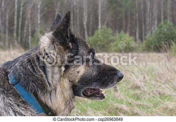 Dog In Alert - csp26963849