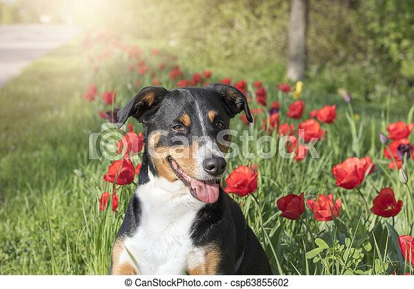 Dog In Flowering Tulips