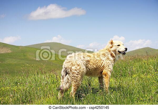 Dog in grass - csp4250145