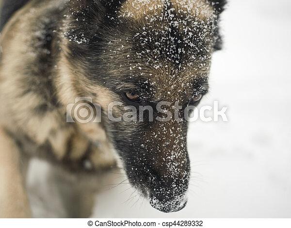Dog In Snow - csp44289332