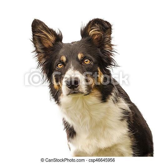 dog in studio isolated - csp46645956
