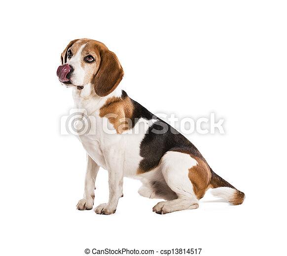 Dog in studio - csp13814517