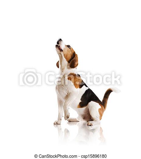 Dog in studio - csp15896180