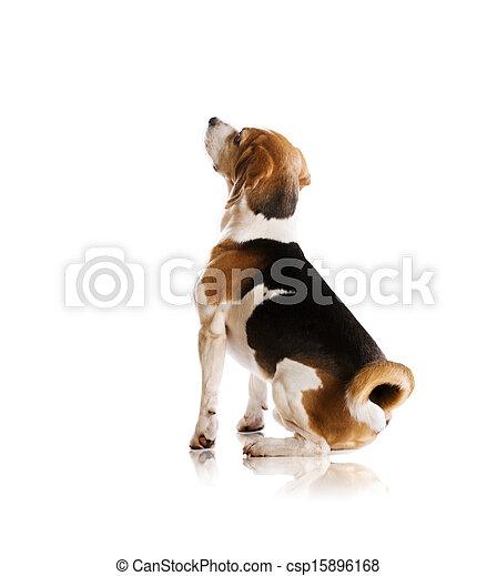 Dog in studio - csp15896168