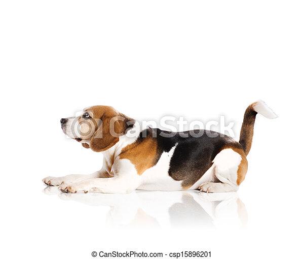 Dog in studio - csp15896201
