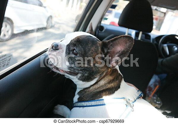 dog in the car - csp67929669