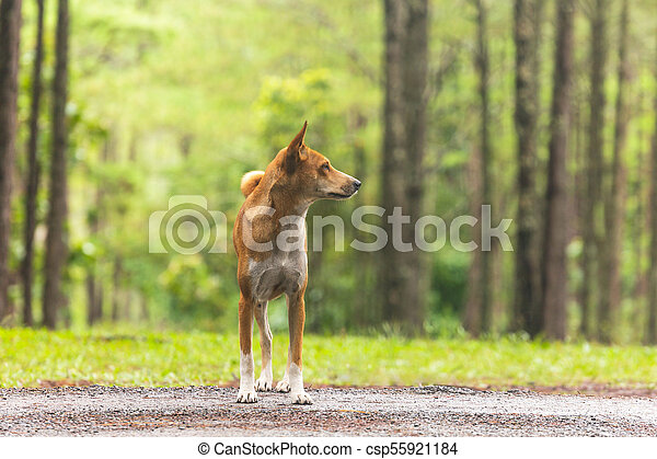 Dog in the pine forest - csp55921184
