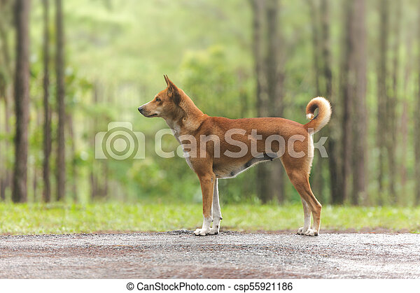 Dog in the pine forest - csp55921186