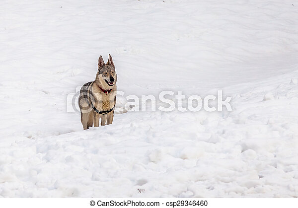 Dog in the snow - csp29346460