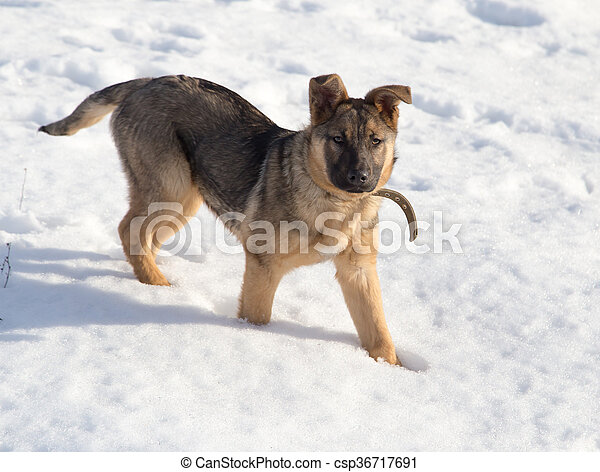 Dog in the snow - csp36717691