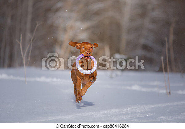 Dog in the winter in nature. Active Hungarian vizsla running on snow - csp86416284