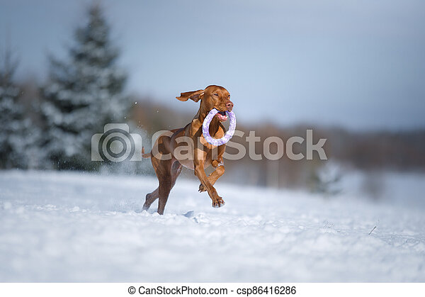 Dog in the winter in nature. Active Hungarian vizsla running on snow - csp86416286