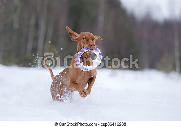 Dog in the winter in nature. Active Hungarian vizsla running on snow - csp86416288