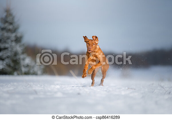 Dog in the winter in nature. Active Hungarian vizsla running on snow - csp86416289